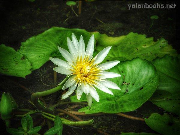 Taipei Travel Summer Waterlily Flowers photography Romanticism 台北旅行 夏日睡莲 花卉摄影 浪漫主义 Yalan雅岚 黑摄会